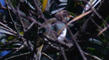 The Chick Of A Honeyeater Preens In A Bush (Rack Focus)