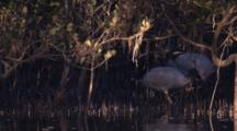 A Flock Of Ibises Forage In A Mangrove Thicket