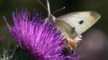 A Butterfly Joins A Bee For A Moment On The Flower Of A Thistle