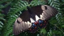 An Orchard Butterfly Pauses On A Fern