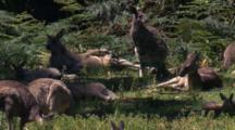 A Mob Of Kangaroos Have A Break On The Margin Of The Forest