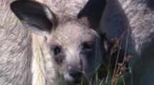 Head Only Shot Of A Kangaroo Joey In The Pouch, Until Mother Hops Off