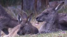 A Kangaroo And Its Joey Take A Break In The Grass