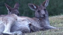 A Kangaroo Takes A Break With Its Joey In The Grass