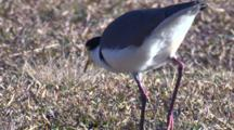 A Masked Lapwing Forages On Grass