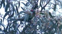 A Musk Lorikeet Forages On A Gum Tree