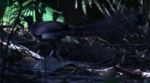 A Male Superb Lyrebird Walks Through Rainforest