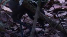 A Superb Lyrebird Forages On The Forest Floor