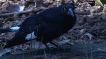 A Pied Currawong Walks On A Log While Watching Out For Prey