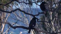 Two Pied Currawongs Fly Off Their Perch