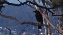 A Pied Currawong Is Perched In An Urban Area