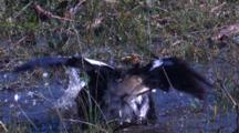 A Magpie Bathes In A Puddle Of Water