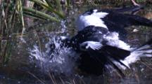 A Magpie Bathes In A Puddle Of Water And Leaves