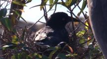 A Pied Currawong Incubates Eggs In Its Nest And Leaves