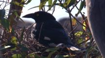 A Pied Currawong Returns To Incubate Eggs In Its Nest