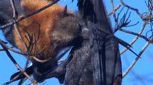 Flying-Foxes Roost High Up In Trees During Daytime Hours
