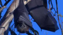 Flying-Foxes Love To Snooze With Wrapped-Around Wings