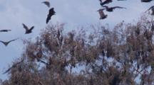 Disturbed By Noise, Flying-Foxes Take To The Air During The Day