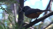 A Black-Faced Monarch Calls On Its Perch And Leaves