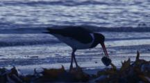 A Pied Oystercatcher Forages In Washed Up Kelp