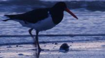 A Pied Oystercatcher Forages On The Sand Of A Beach