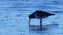 A Pied Oystercatcher Forages In Shallow Water