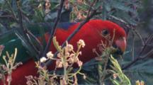 An Australian King-Parrot Feeds On An Acacia Tree