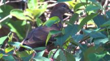A Brown Cuckoo-Dove Forages In A Bush