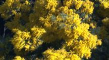 A Black Wattle Species In Full Bloom