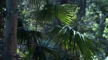 Cabbage Palm Fronds Sway In A Light Breeze