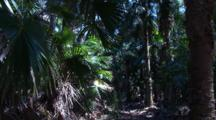 A Cabbage Palm Grove In A Rainforest Pocket