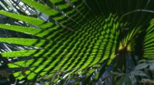 Light And Shadow Play In A Cabbage Palm Frond With Fast Right Pan