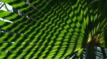 Light And Shadow Play In A Cabbage Palm Frond