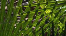 Light And Shadow Interaction In Cabbage Palm Fronds