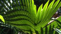 Light And Shadow In Cabbage Palm Fronds With Fast Right Pan