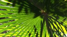 Light And Shadow Play In Cabbage Palm Fronds