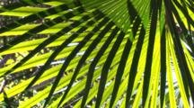 Cabbage Palm Fronds In A Light Breeze