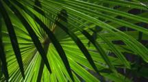 Backlit Cabbage Palm Fronds In A Rainforest Pocket