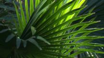 Cabbage Palm Fronds In A Rainforest Pocket