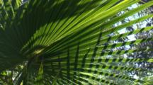Light And Shadow Play On Cabbage Palm Fronds