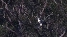 A White-Bellied Sea-Eagle Pauses On A Branch