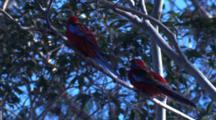 Two Crimson Rosellas Preen On Their Perch On A Gum Tree