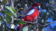 A Crimson Rosella Displays Special Behaviour On Its Perch