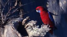 A Crimson Rosella Investigates A Possible Nest Site In A Gum Tree