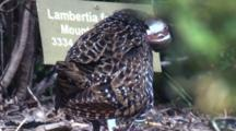 A Buff-Banded Rail Preens In A Park