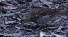 A Bassian Thrush Forages On Leaf Litter