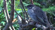 A Juvenile Wattlebird Is Waiting For Food Drops By Its Parents