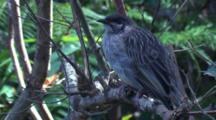 A Young Wattlebird Is Waiting For Food Drops By Its Parents