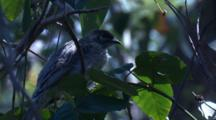 Like Most Young Birds, This Young Wattlebird Relies On Food Drops