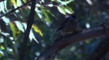 A Young Wattlebird Preens While Waiting For A Food Parcel By Its Parent
